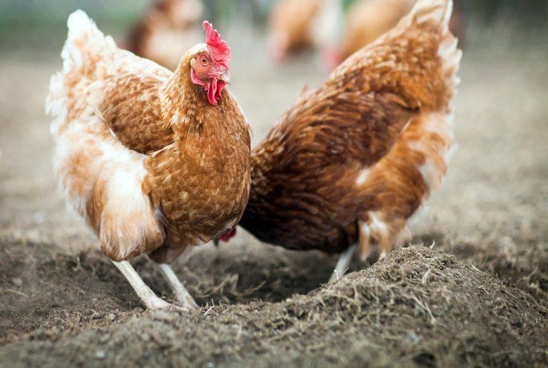 Κρήτη: Πήγε να σφάξει την κότα και μαχαιρώθηκε