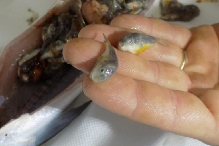 Κρήτη: Άναυδος! Καθάριζε ψάρι και βρήκε μέσα… δεκάδες λαγοκέφαλους! pics
