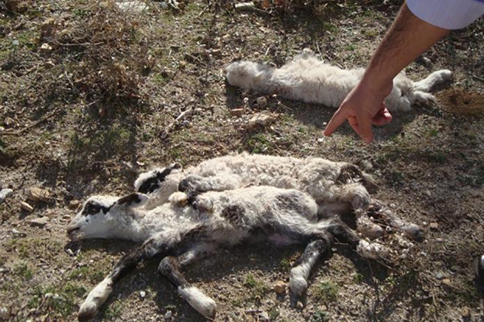 Κρήτη: Κτηνοτρόφος βρήκε 15 πρόβατά του σκοτωμένα από σκυλιά