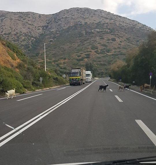 Φόδελε: Κατσίκες στο ΒΟΑΚ και οι οδηγοί σταματούν να περάσουν