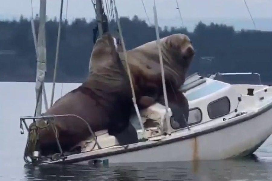 Επικό video: Τεράστια θαλάσσια λιοντάρια αράζουν σε σκάφος