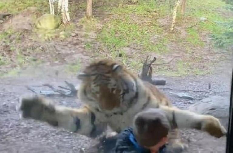 Βίντεο που κόβει την ανάσα: Καρέ–καρέ η επίθεση τίγρη σε παιδάκι σε ζωολογικό κήπο!