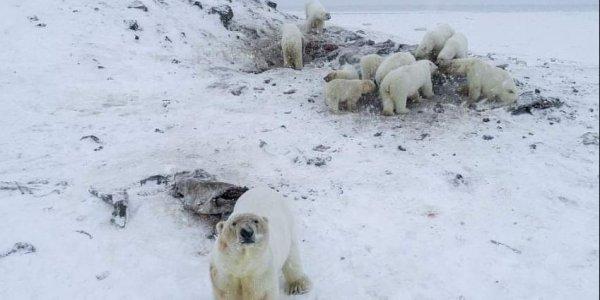 Δεκάδες πολικές αρκούδες έκαναν «απόβαση» σε χωριό της Ρωσίας (vid)