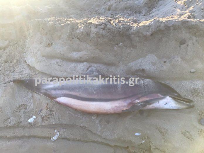Νεκρό δελφίνι σε παραλία της Κρήτης – Δείτε φωτό