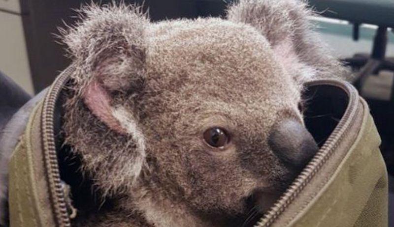 Αυστραλία: Γάντια για κοάλα και μάρσιποι για καγκουρό από εθελοντές