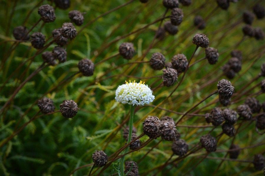 Το αρχαίο βότανο που χρησιμοποιούσαν σαν αντισυλληπτικό και δεν υπάρχει πια