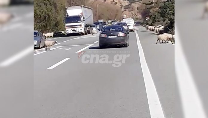 Πρόβατα στον ΒΟΑΚ! Έκλεισε η κυκλοφορία, εικόνες για γέλια και για κλάματα (vid)