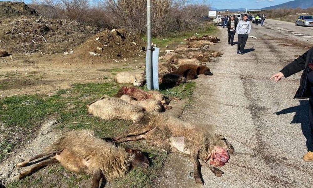 Τροχαίο σοκ στο Μεσολόγγι: Αγροτικό παρέσυρε και σκότωσε 30 πρόβατα