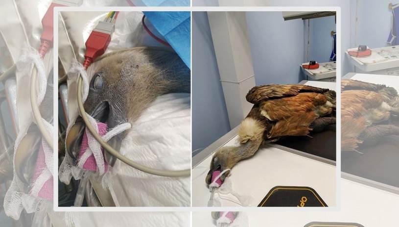 Ένας Κρητικός γύπας στο χειρουργείο!