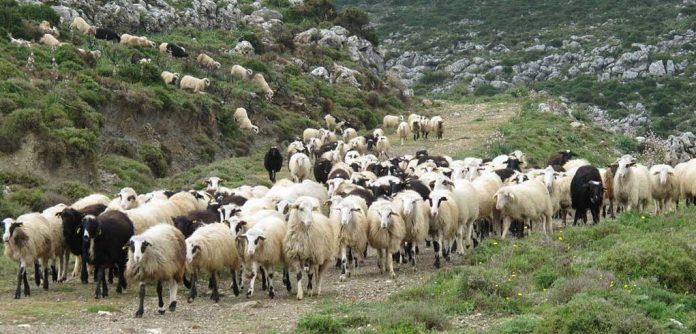 """Είχε κλέψει ζώα κι ένα φορτηγάκι αλλά τον """"μάγκωσαν"""" – Εξιχνιάστηκε νέα υπόθεση ζωοκλοπής στην Κρήτη"""