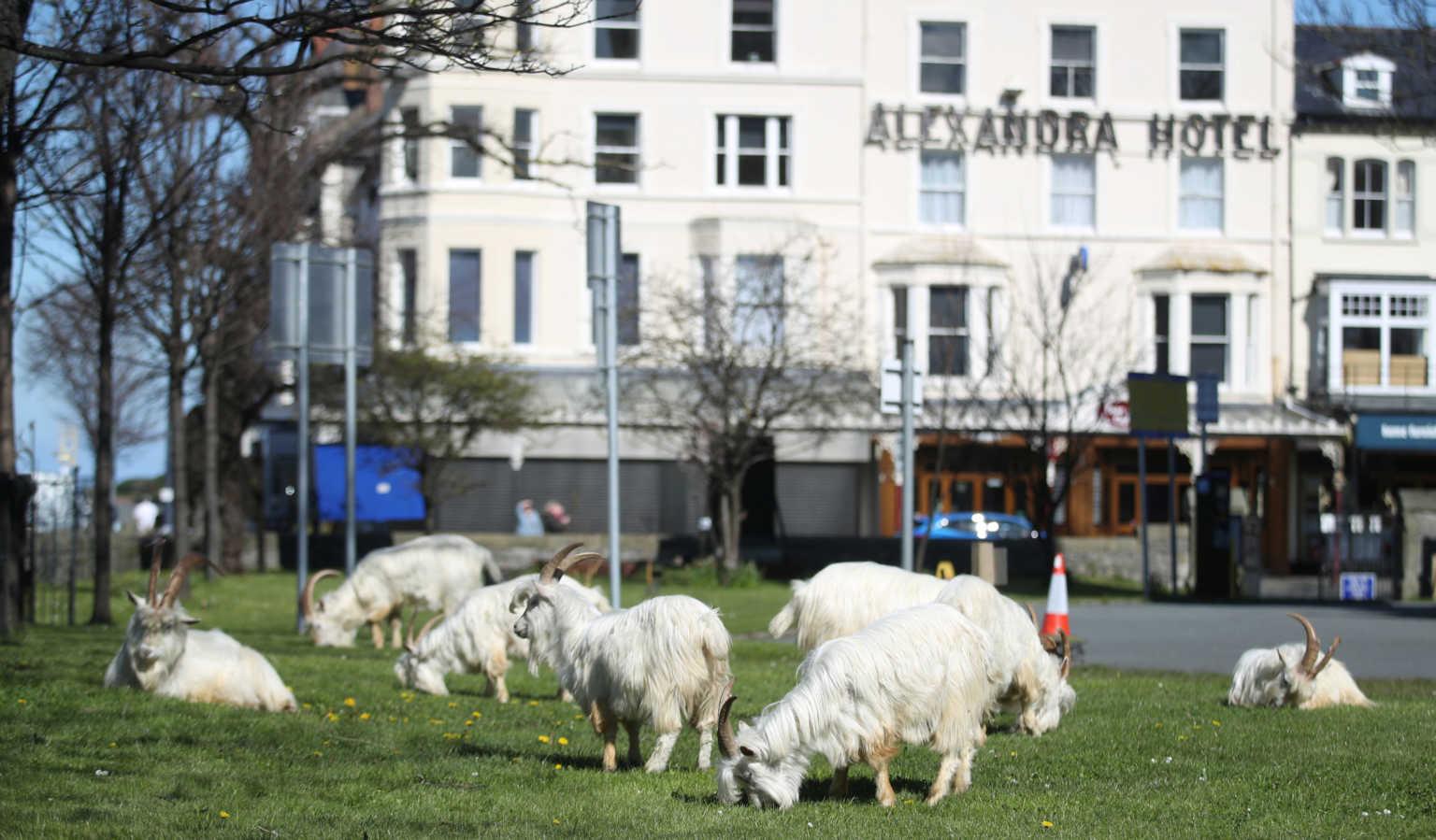 Κατσίκες έκαναν… κατάληψη στην άδεια, λόγω του κορονοϊού, πόλη και έγιναν viral (video, pics)