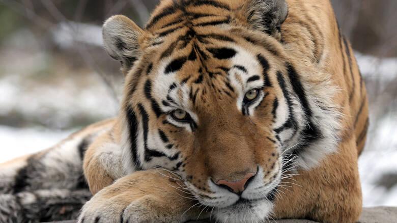 Θετικά στον ιό ακόμη επτά αιλουροειδή στον ζωολογικό κήπο του Μπρονξ