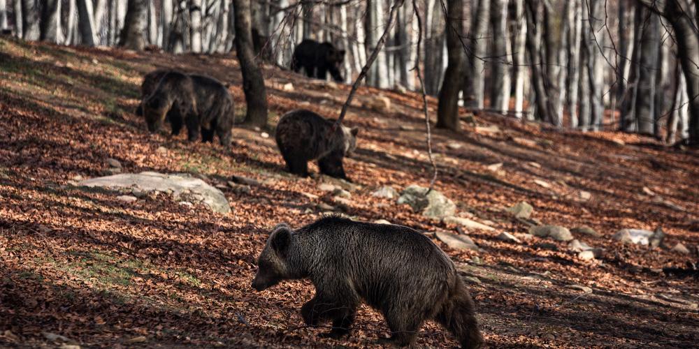 Η χολή της αρκούδας χρησιμοποιείται ως φάρμακο στη Κίνα