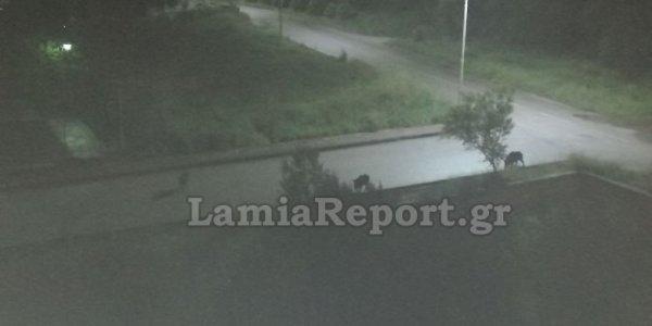 Φθιώτιδα: Κοπάδι από αγριογούρουνα έκανε βόλτες στα Καλύβια