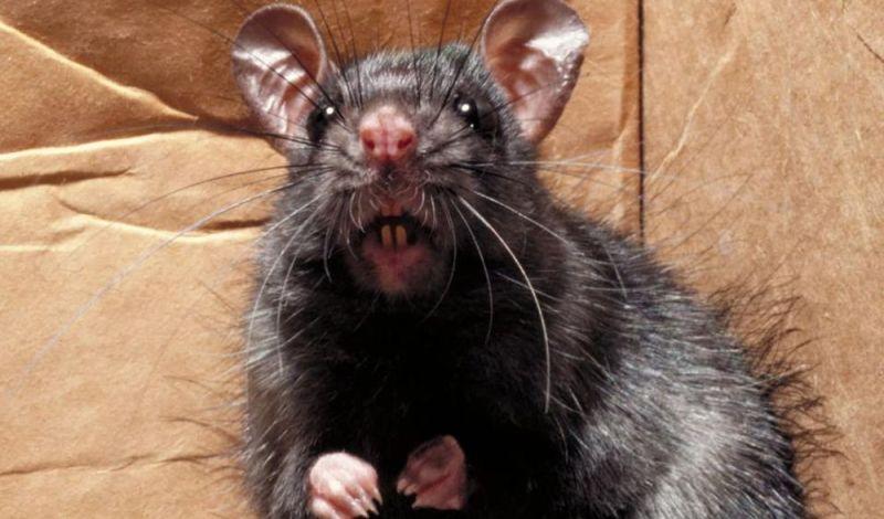Συναγερμός στις ΗΠΑ: Τα ποντίκια έχουν αγριέψει λόγω κορονοϊού και επιτίθενται σε ανθρώπους