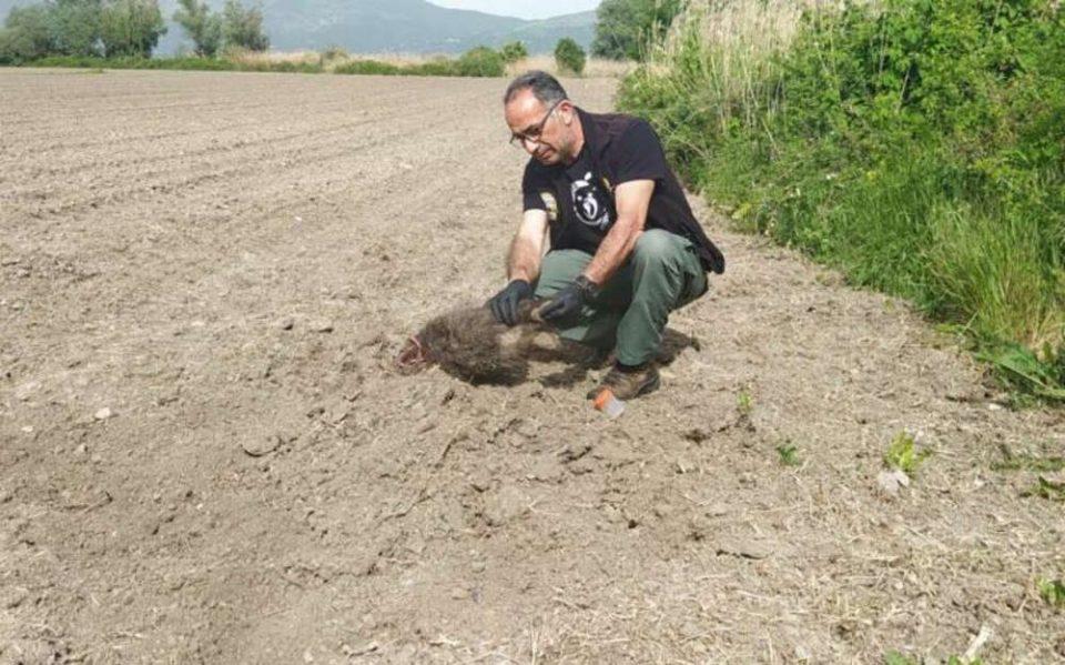 Η μαμά-αρκούδα έθαψε τα δύο μικρά της στην Καστοριά – Τι λένε οι επιστήμονες