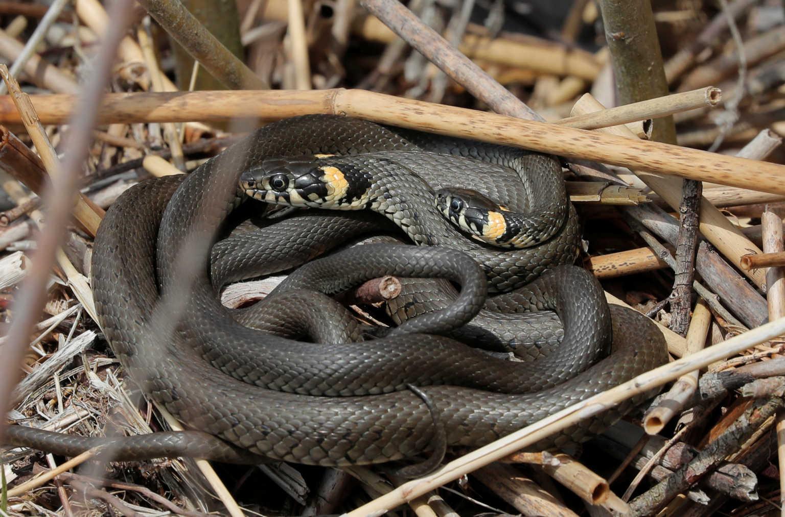 Σκότωσε τη γυναίκα του με δυο δηλητηριώδη φίδια
