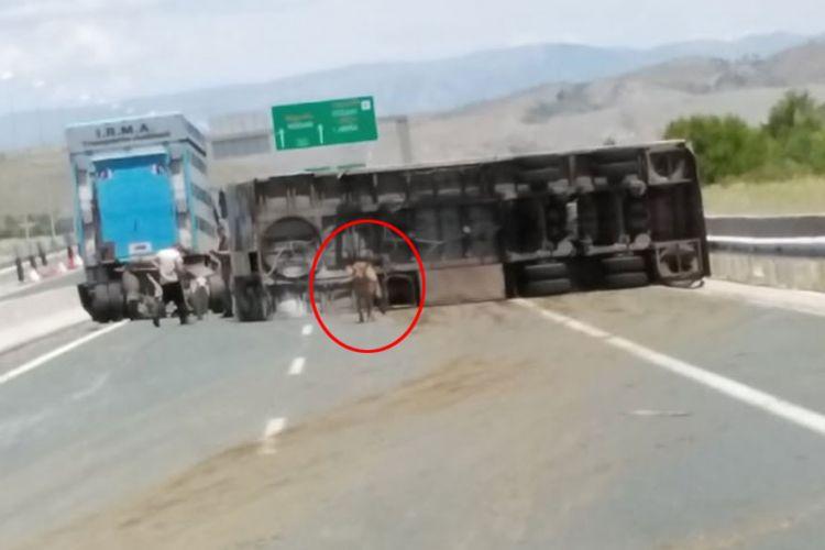 Γέμισε αγελάδες η Εγνατία Οδός – Ανετράπη φορτηγό