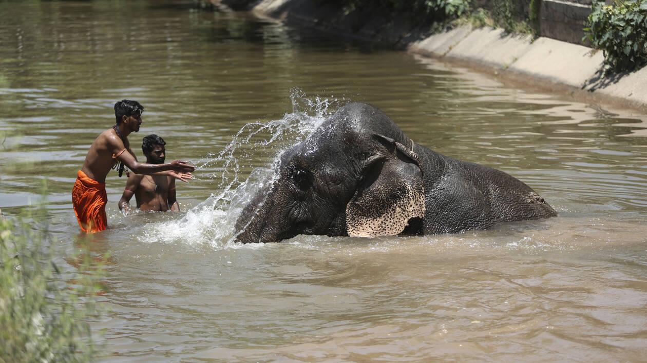 Ινδία: Κατακραυγή για την έγκυο ελεφαντίνα που την τάισαν… κροτίδα