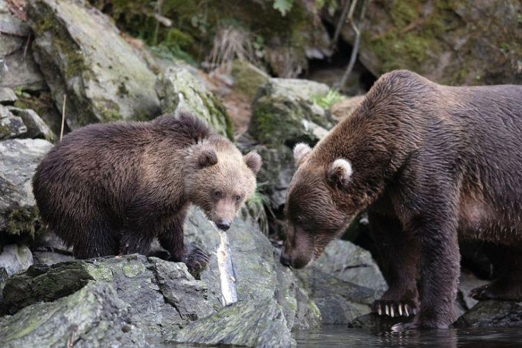 Βογατσικό Καστοριάς: 4 αρκούδες μέσα στο χωριό – Ανησυχούν οι κάτοικοι