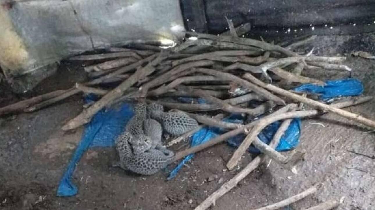 Εντυπωσιακό βίντεο: Λεοπάρδαλη γέννησε τα μωρά της σε καλύβα