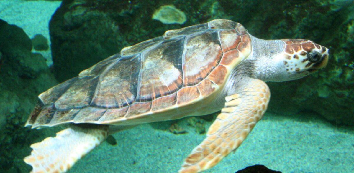 Ζάκυνθος: Ρεκόρ 25ετίας φωλιών καρέτα – καρέτα με 150.000 εκκολαπτόμενα χελωνάκια!