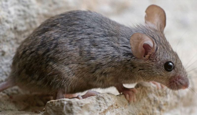 Προκαταρκτική εξέταση μετά το περιστατικό με το δάγκωμα ποντικού στην Κρήτη