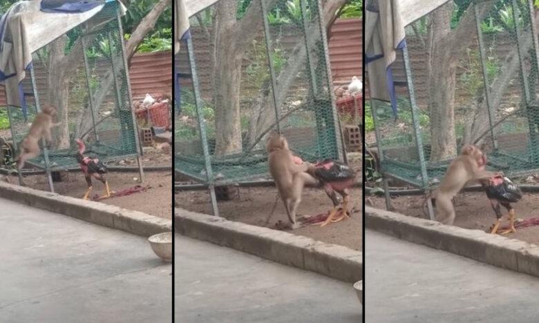 Μάχη επιβίωσης: Μαϊμού εναντίον κόκκορα (video)