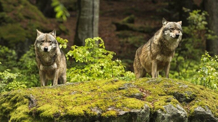 Επιδρομή λύκων σε χωριό της Φθιώτιδας