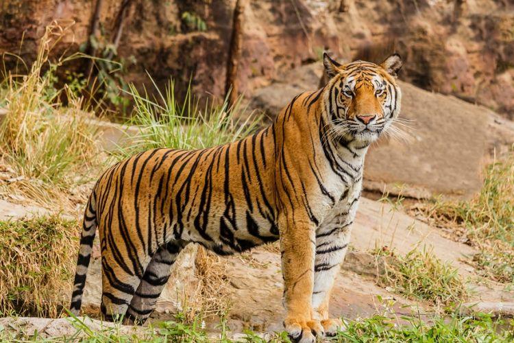 Ζευγάρι αγόρασε γατάκι από το ίντερνετ και τελικά ήταν τίγρης