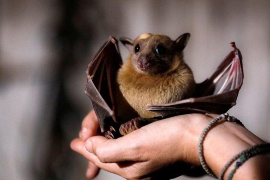 Αρρωστες νυχτερίδες κρατούν αποστάσεις για να μην κολλήσουν τις άλλες