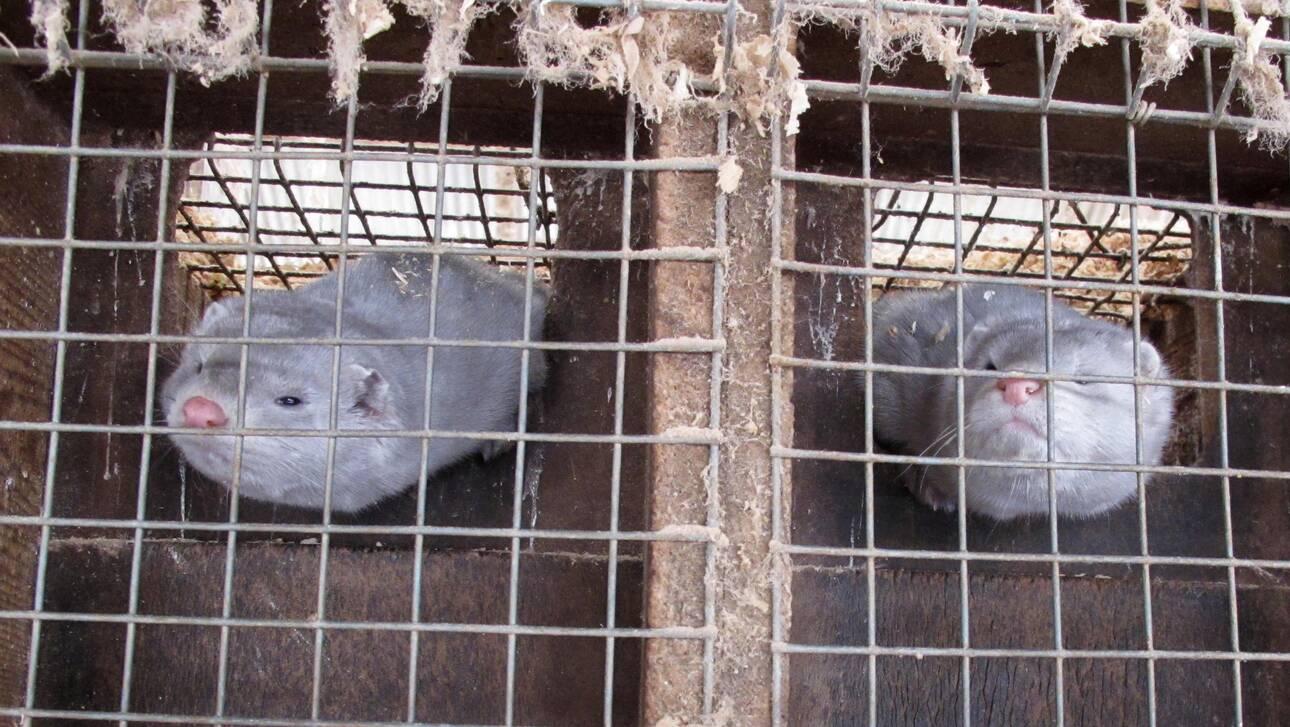 Εντοπίστηκε κορωνοϊός σε εκτροφείο βιζόν στη Γαλλία – Προς θανάτωση 1000 ζώα