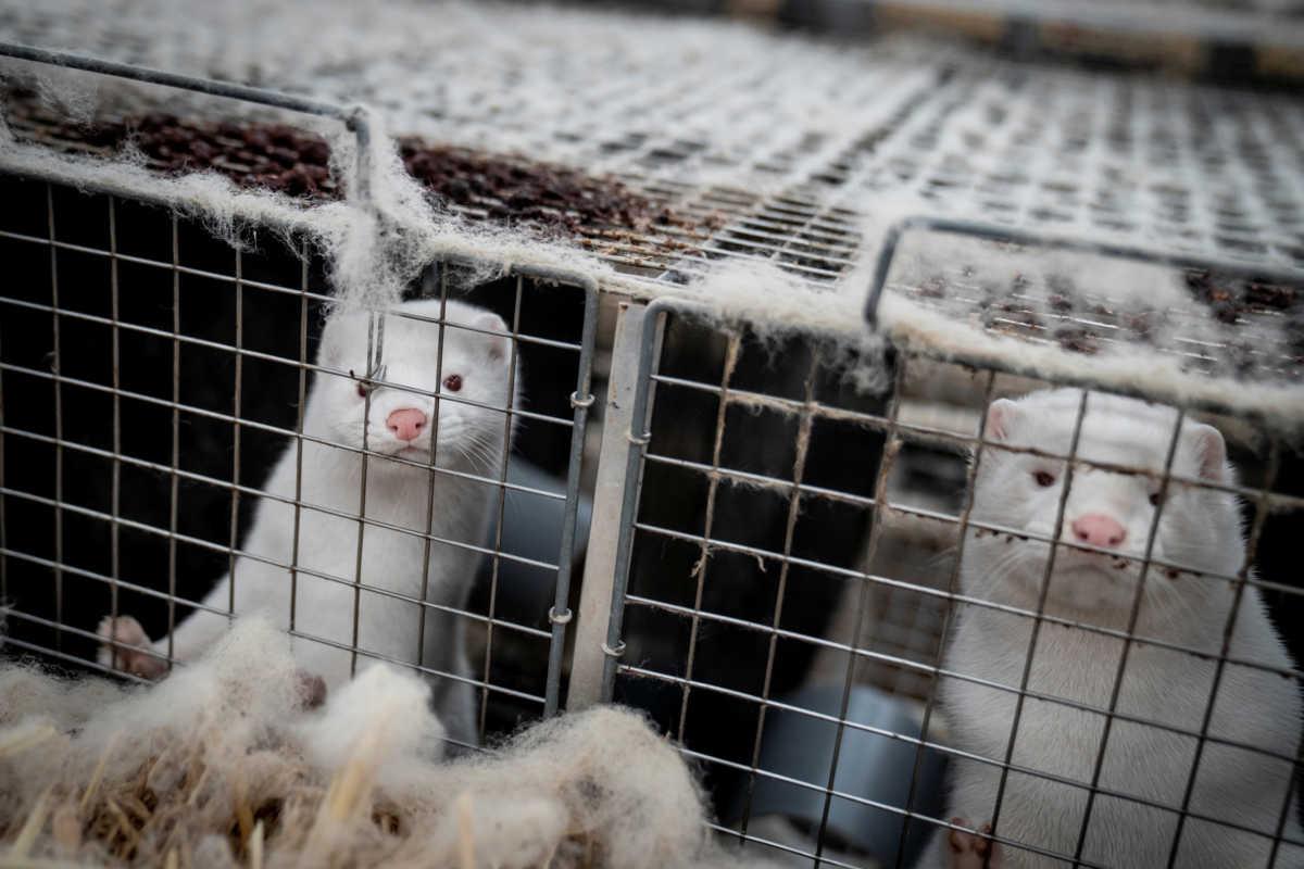 Κορονοϊός: Θετικά όλα τα δείγματα των μίνγκ στη φάρμα της Κοζάνης! Επιβεβαιώθηκαν οι χειρότεροι φόβοι