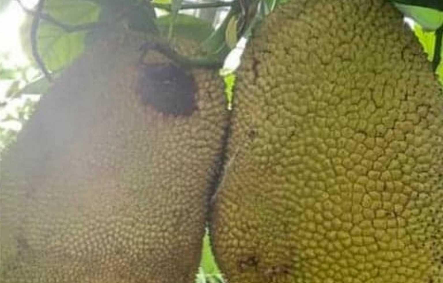 Jackfruit – Χανιά: Το εξωτικό φρούτο που κάνει πέρα ψωμί και κρέας (pics)