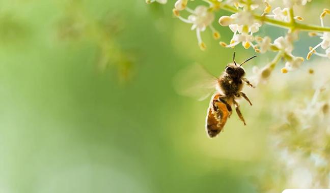 Μέλισσες στην Ολλανδία θα εντοπίζουν τις μολύνσεις κορονοϊού