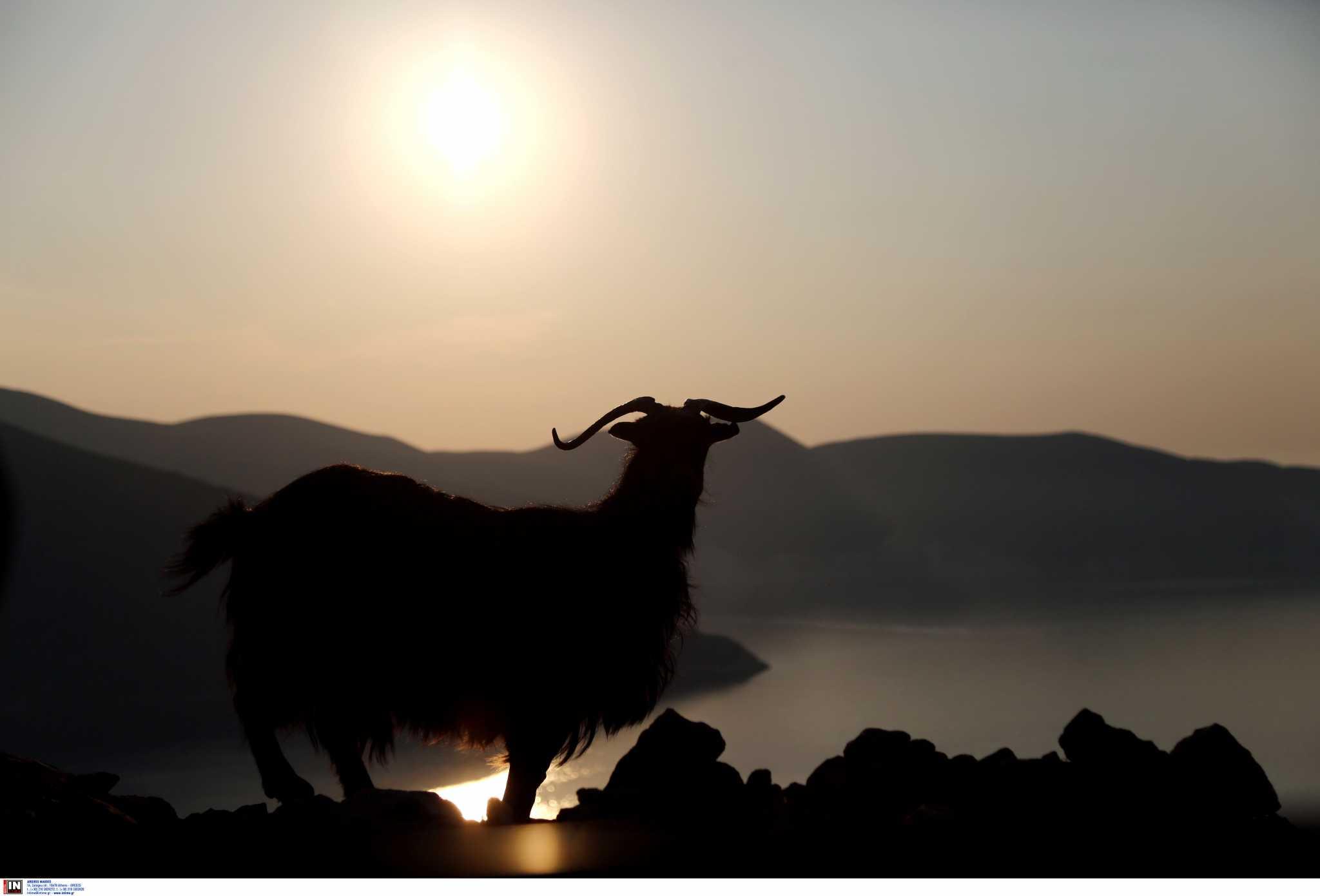Λέσβος: Παραλίγο να γίνει δολοφόνος επειδή ένας τράγος παρενόχλησε τις κατσίκες του