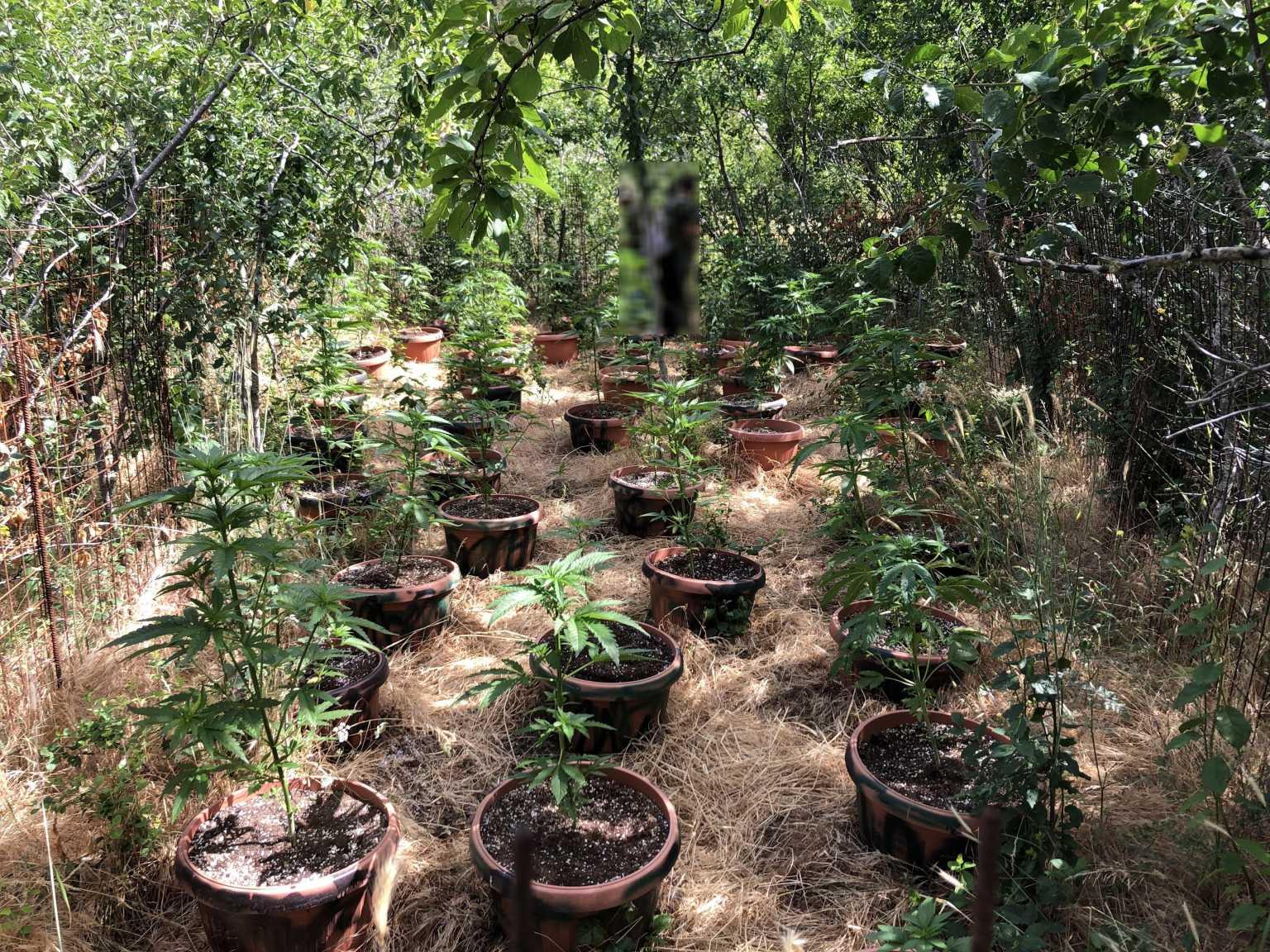 Κρήτη: Τον έπιασαν να φροντίζει τα χασισόδεντρα