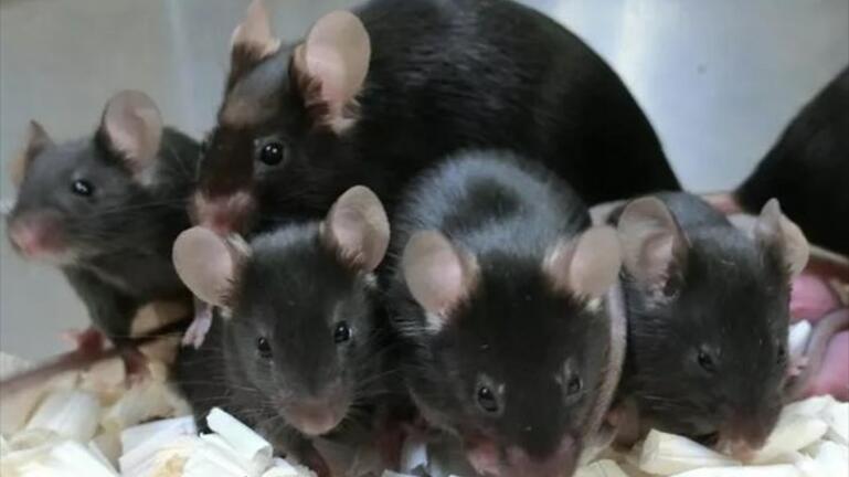 Γεννήθηκαν τα πρώτα «διαστημικά» ποντίκια