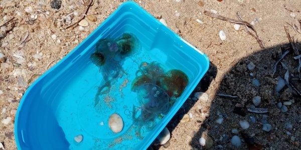 Χαλκιδική: Επέστρεψαν τοξικές μέδουσες μετά από 40 χρόνια