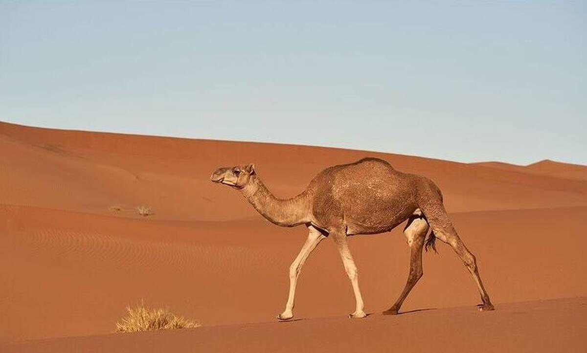 Νέα αποκάλυψη για τις καμήλες – Πώς επιβιώνουν χωρίς να πίνουν νερό για μεγάλα χρονικά διαστήματα;