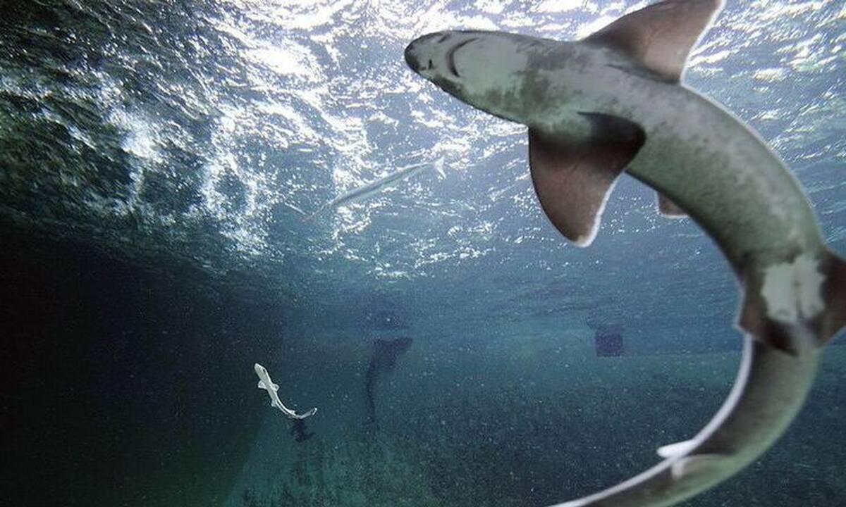 Καρχαρίας γεννήθηκε από παρθενογένεση