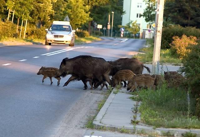 Δήμος Διονύσου – Τι απαντά στην πρωτοφανή απόφαση για κυνήγι αγριογούρουνου στις καμένες εκτάσεις