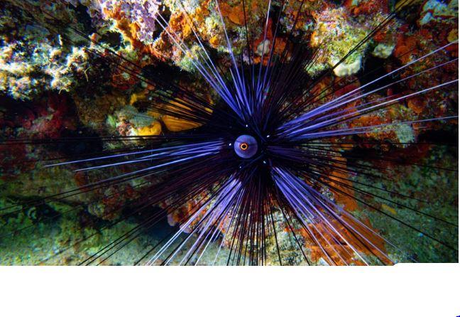 Δηλητηριώδεις αχινοί εισβάλλουν και απειλούν τις ελληνικές θάλασσες – Τα χαρακτηριστικά τους και πώς έφτασαν εδώ