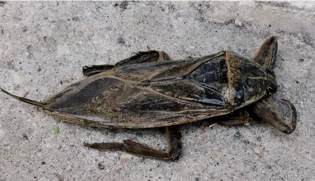 Ο γιγάντιος και δηλητηριώδης Λιθόκερος εμφανίστηκε στην Αγία Μαρίνα Λάρισας