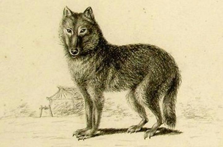 Πού πρωτοεμφανίστηκε ο σκύλος; Την απάντηση ίσως έχει ο μυστηριώδης λύκος της Ιαπωνίας