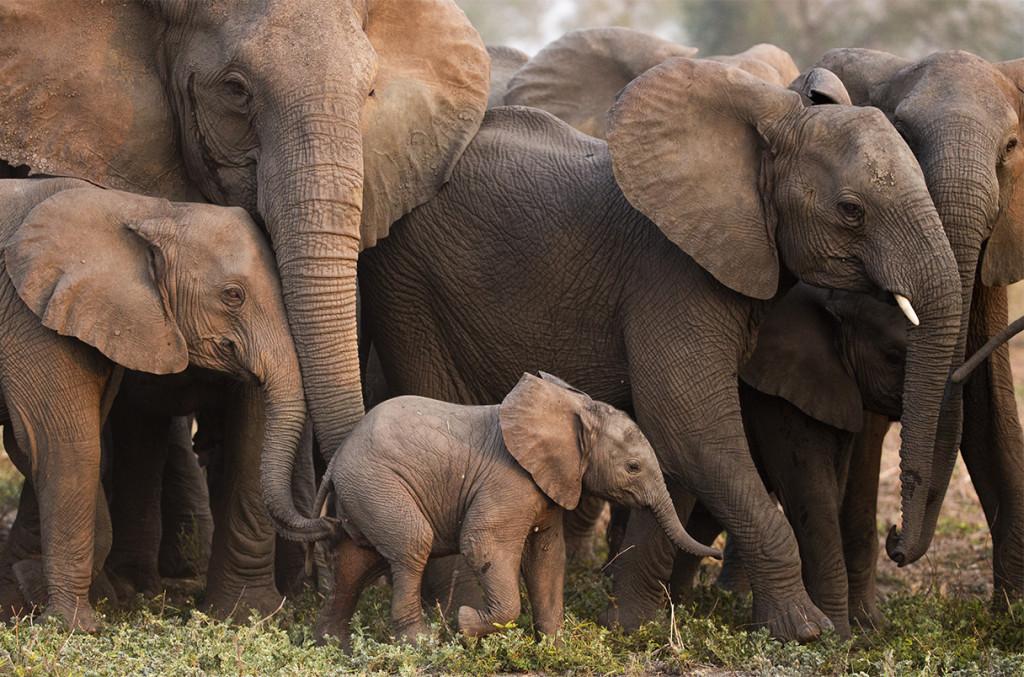 Χωρίς χαυλιόδοντες: Πώς η λαθροθηρία άλλαξε την εξελικτική πορεία των ελεφάντων