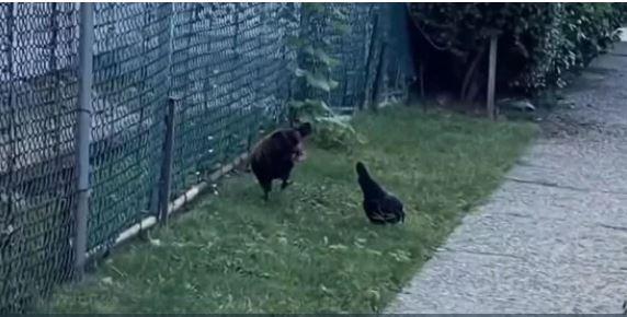 ΗΠΑ: Κόκορας τρομοκρατεί περαστικούς στη Νέα Υόρκη
