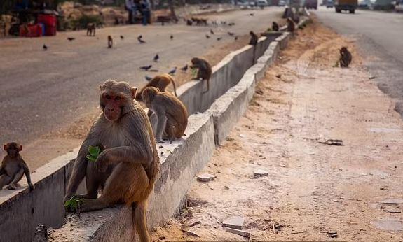 Ινδία – Μαϊμού πέταξε τούβλο από τον 2ο όροφο κτιρίου και σκότωσε άνδρα