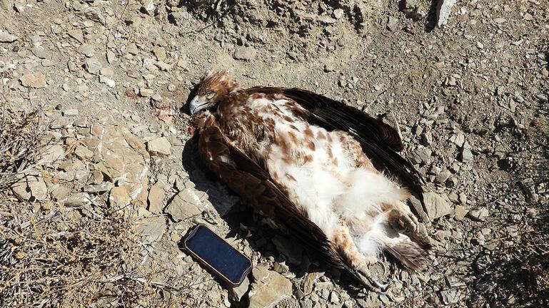 Χρυσαετός εντοπίστηκε νεκρός μετά από πυροβολισμό!